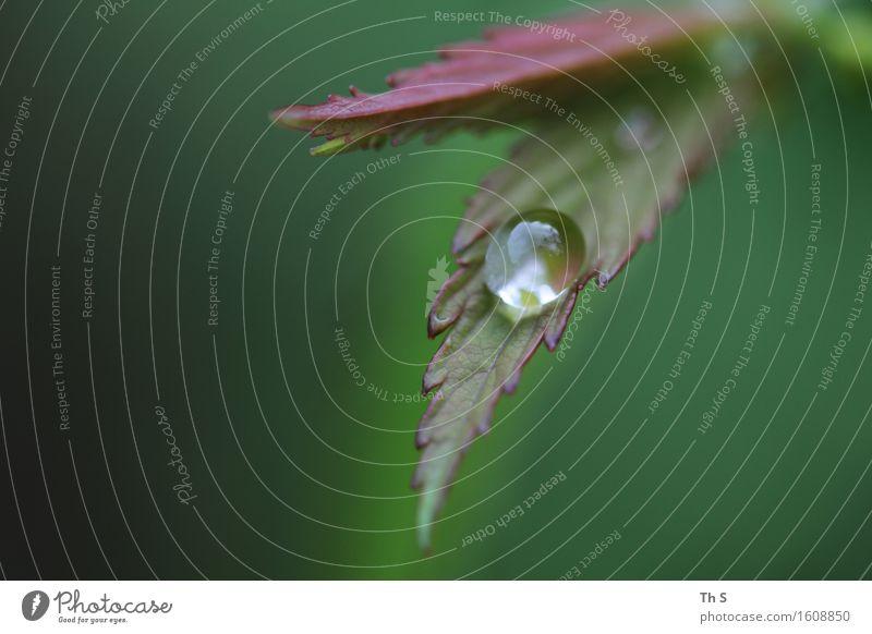 Tropfen Natur Pflanze Frühling Herbst Regen Blatt ästhetisch authentisch einfach elegant nass natürlich grün rot Gelassenheit geduldig ruhig schön Farbfoto