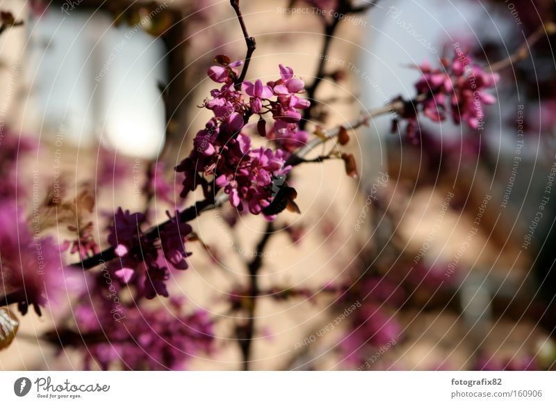 magenta@malle Blume Sommer Farbe Blüte hell rosa Ast Spanien diagonal Zweig Mallorca