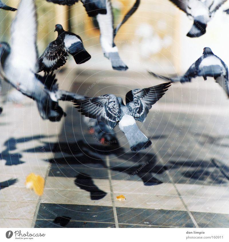 tauben Vogel Taube Lebewesen Natur Tier Feder Parasit fliegen Frieden analog Mittelformat