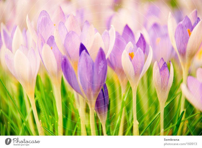 Frühlingsboten Natur grün schön Blume Wiese Leben Gras Vergänglichkeit violett Blühend zart Gesellschaft (Soziologie) filigran Pastellton aufwachen