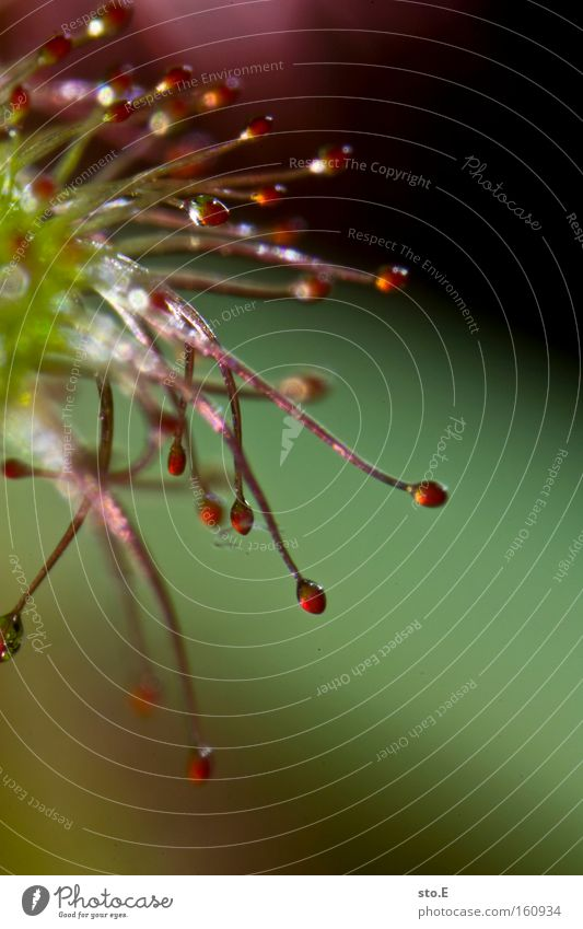drosera madagascariensis Rundblättriger Sonnentau Langblättriger Sonnentau Makroaufnahme Kelchblatt Pflanze Härchen gefährlich Mangel Samen Natur Nahaufnahme