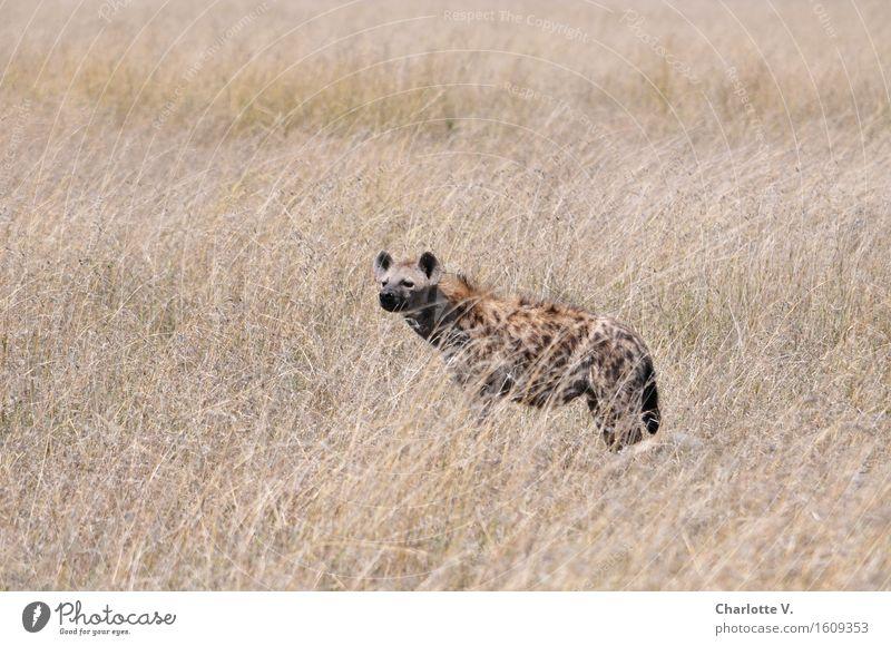 Was riecht denn da so gut? Einsamkeit ruhig Tier grau Freiheit braun wild frei Kraft Wildtier stehen beobachten Abenteuer trocken hören Konzentration