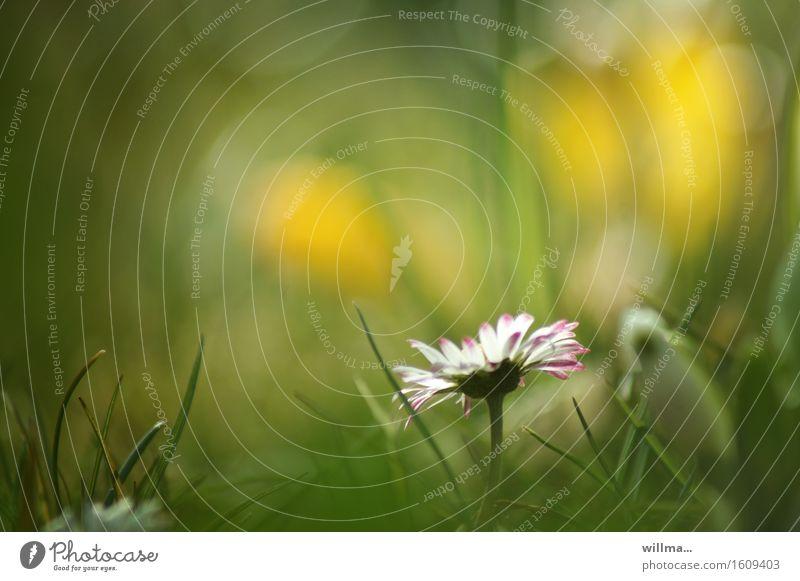 _\|/ Gänseblümchen Wiese Blumenwiese Wiesenblume Gras Blühend natürlich gelb grün weiß Natur Pflanze schön bescheiden zart leuchten Frühling Sommer Farbfoto