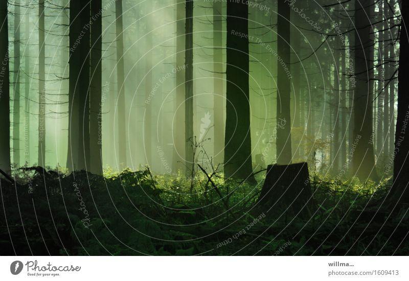 ||\ || | Wald Nadelwald Sonnenstrahlen Lichterscheinung Baumstumpf natürlich grün schwarz Natur Naturerlebnis Schönes Wetter Umwelt Pflanze Echte Farne Farbfoto