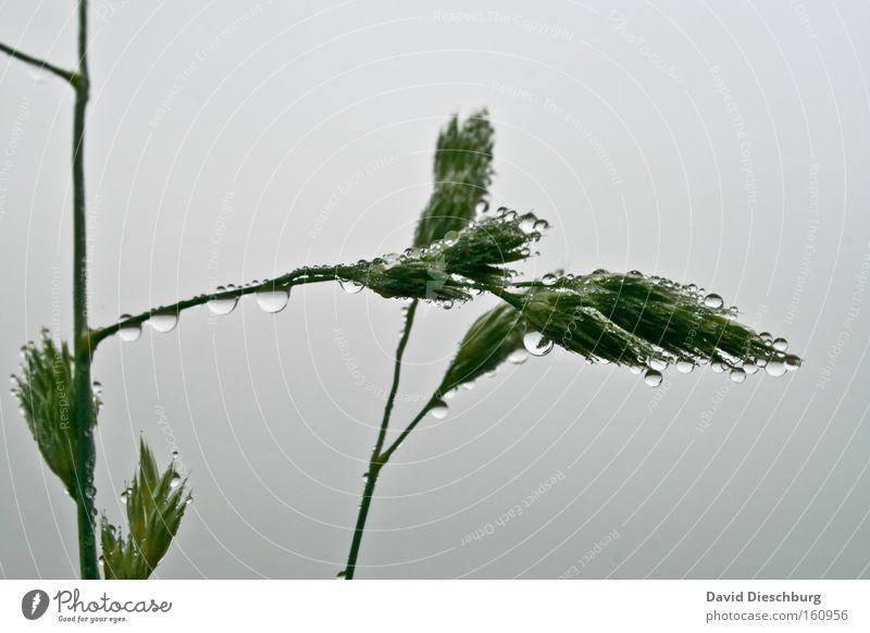 Tropfenerzeugungsanlage Natur Pflanze grün Wasser weiß Gras grau Regen Wassertropfen nass rund Tropfen Stengel Halm Tau feucht