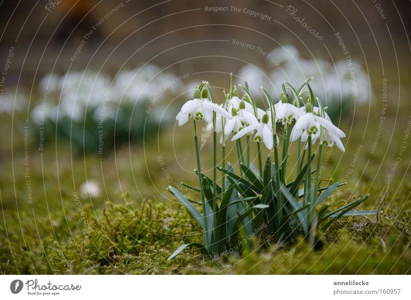 Glöckchen Schneeglöckchen Frühling Winter Pflanze Frühblüher Natur zart Glocke Blühend Park Garten Moos frisch aufwachen Makroaufnahme Nahaufnahme mehrere