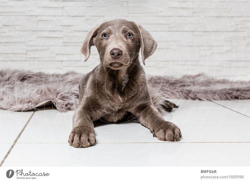 Ich behalte dich im Auge! Tier Haustier Hund Labrador 1 Tierjunges sitzen Neugier niedlich braun Wachsamkeit Gelassenheit Welpe Pfote Ohren gespitzt beobachten