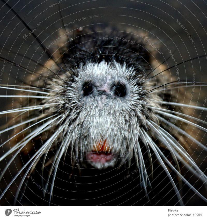 Was ist das? :P Tier Schnurrhaar Schnauze blind Vieh Geruch Sinnesorgane lustig hässlich seltsam außergewöhnlich Bisamratte Biber Biberratte Neugier