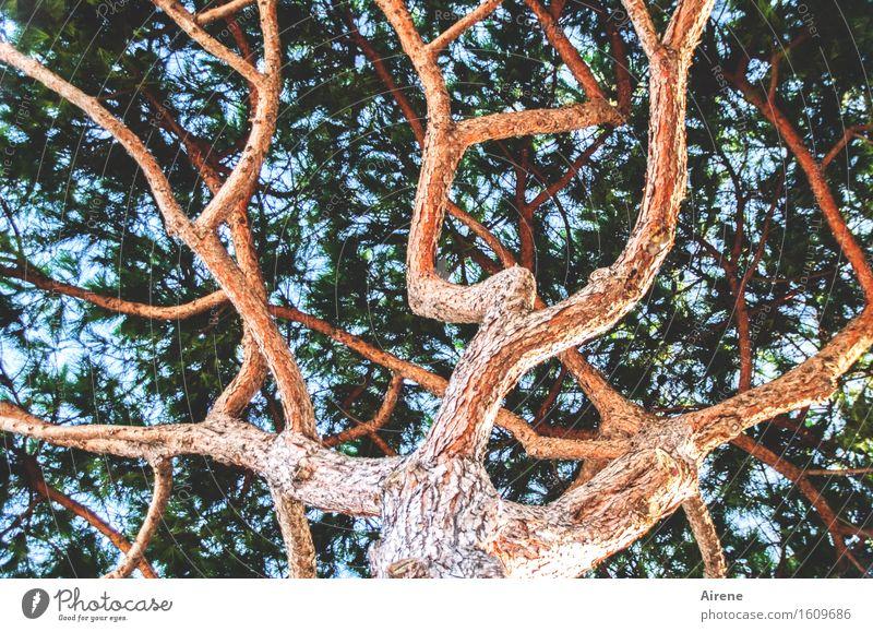 weit verzweigt Pflanze Sonnenaufgang Sonnenuntergang Schönes Wetter Baum Pinie Nadelbaum Ast Netzwerk leuchten Aggression bedrohlich frisch hell hoch blau grün