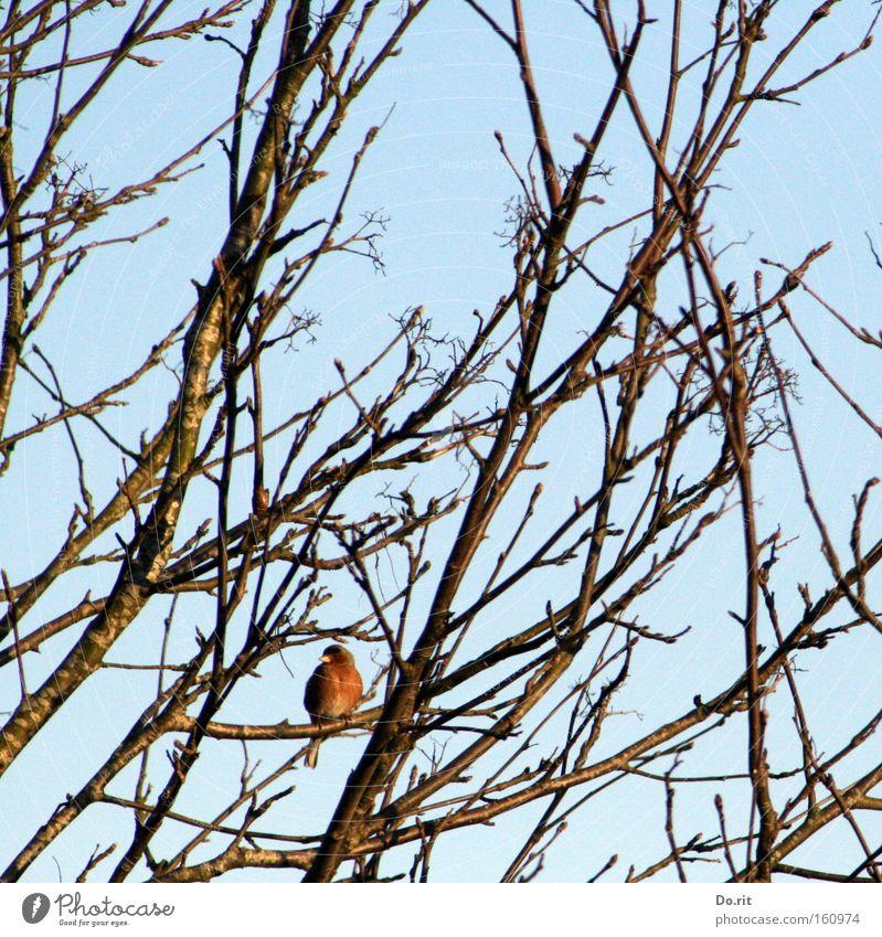 den Überblick behalten Baum Winter Einsamkeit Vogel warten Frost Feder stoppen beobachten Ast hören genießen frieren Baumkrone Zweig singen