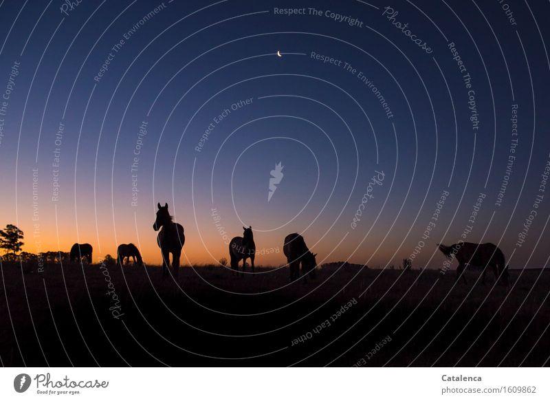 Im Abendlicht grasende Pferde II Reitsport Landschaft Himmel Nachthimmel Horizont Mond Schönes Wetter Baum Wiese Feld Tiergruppe atmen beobachten Fressen gehen