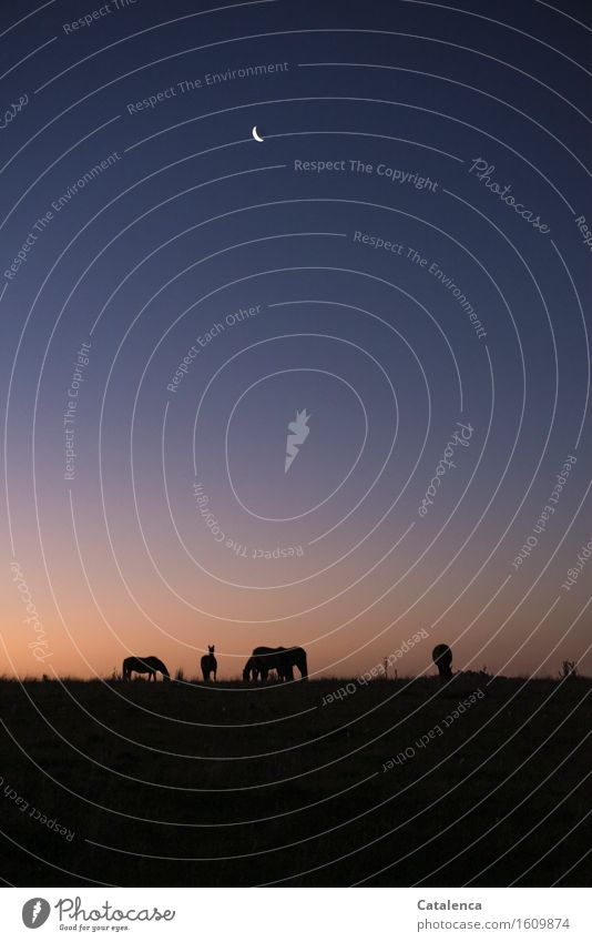Grasende Pferde im Abendlicht Natur Pflanze blau Farbe Tier dunkel schwarz Leben natürlich Freiheit Stimmung rosa Horizont orange Feld gold