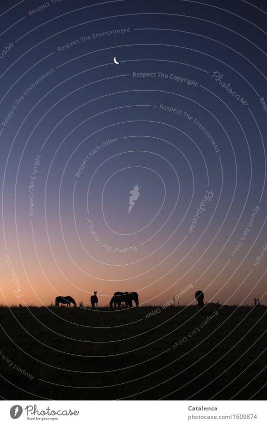 Grasende Pferde im Abendlicht Natur Pflanze Tier Nachthimmel Mond Schönes Wetter Weide Feld 4 atmen beobachten Fressen Blick dunkel natürlich blau gold violett
