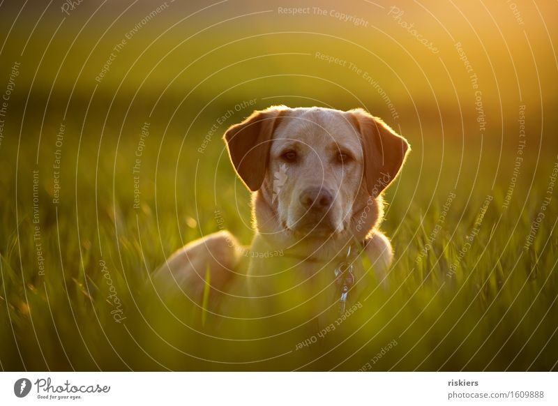 Feldmaus Umwelt Natur Frühling Schönes Wetter Wiese Tier Haustier Hund 1 Tierjunges beobachten leuchten Blick warten blond Coolness Freundlichkeit frisch schön