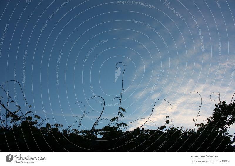 Halt den blauen Himmel fest Wolken Altokumulus floccus Kletterpflanzen Glyzinie Liane Sträucher Abend Freiheit Abenddämmerung Außenaufnahme Sommer Park
