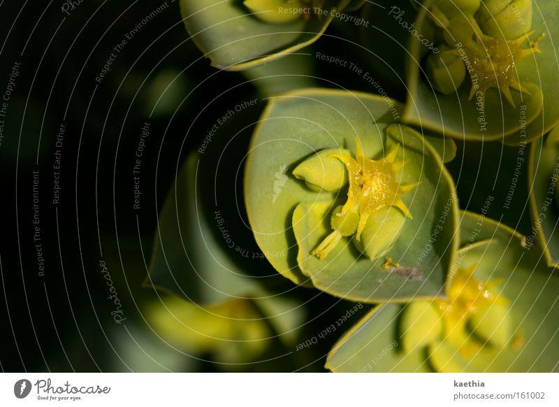 frühlingsspielchen Natur Pflanze Blume Blüte gelb grün Stern (Symbol) Schatten exotisch Zacken Blühend klein Unschärfe Honig trocken Nahaufnahme Makroaufnahme