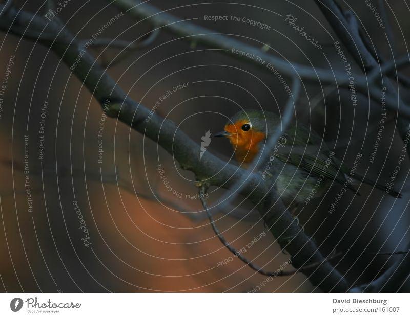 Rotkäppchen der Vögel Farbfoto Außenaufnahme Nahaufnahme Tag Kontrast Zentralperspektive Tierporträt Natur Pflanze Baum Wildtier Vogel 1 Farbe Rotkehlchen Ast