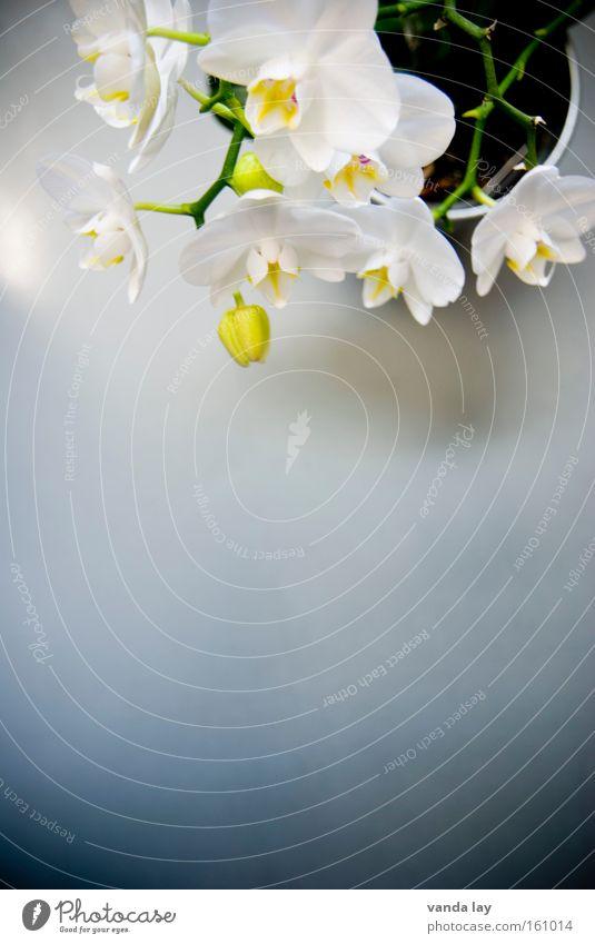 Phalaenopsis Orchidee Blume Pflanze Natur Stil Blüte Häusliches Leben exotisch Stengel schön edel Makroaufnahme Wohnzimmer Vergänglichkeit dekotation