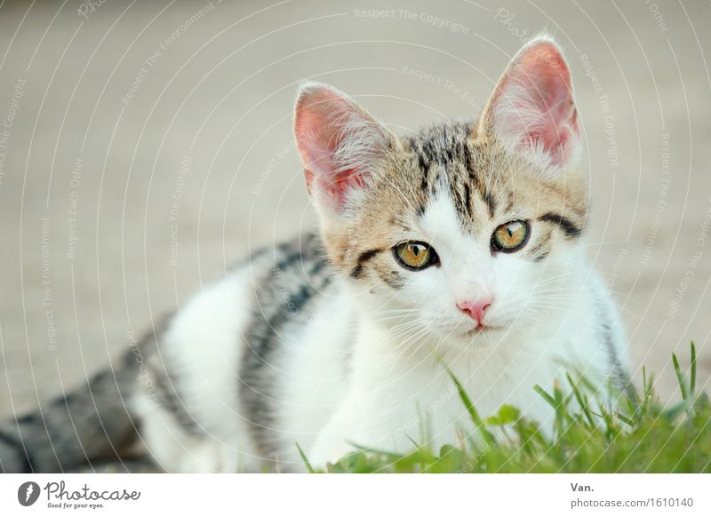 Meinst du mich? Natur Tier Frühling Gras Haustier Katze Tiergesicht Tierjunges 1 Neugier niedlich weiß Tigerfellmuster Farbfoto mehrfarbig Außenaufnahme