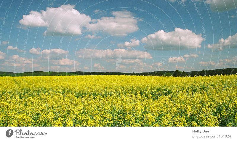 Sommerraps weiß blau Wolken gelb Leben Blüte Feld hoch Wachstum Ernte Verschiedenheit Raps