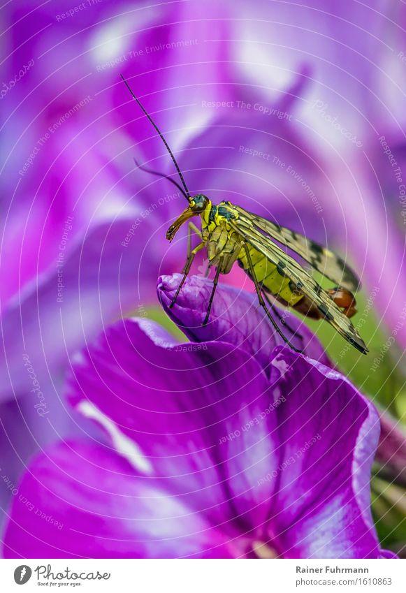 """eine Skorpionsfliege auf einer Phloxblüte Natur Pflanze Tier Blüte Wildtier Fliege """"Skorpionsfliege Panorpidae,"""" sportlich schön gelb rosa Farbfoto"""