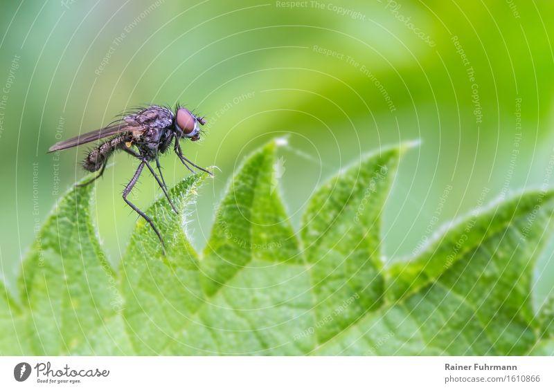 """Der Tanz auf der Kreissäge Tier Wildtier Fliege 1 beobachten sitzen Natur Brennnesselblatt """"Brennnessel Heilpflanze,"""" Farbfoto Außenaufnahme Makroaufnahme"""