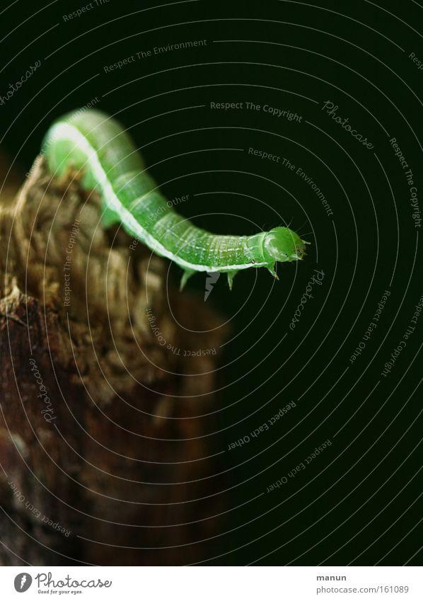 Caterpillar II Natur Frühling Kraft Hintergrundbild Umwelt Schmetterling Umweltschutz Entwicklung Raupe Schädlinge verwandeln gefräßig Metamorphose