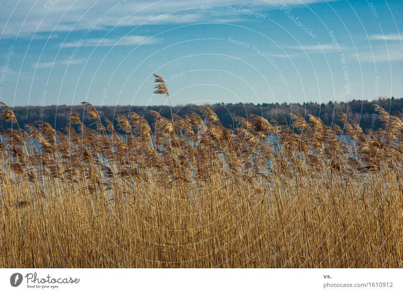 Nach links gebürstet Pflanze Himmel Sonnenlicht Winter Wildpflanze Schilfrohr Küste Seeufer beobachten Erholung wandern ruhig Fernweh Ferien & Urlaub & Reisen