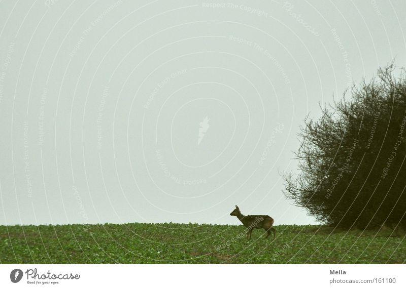 Reh am Morgen ... Natur Einsamkeit Tier Frühling Feld frei Sträucher wild Wildtier Säugetier einzeln Wildnis Ricke