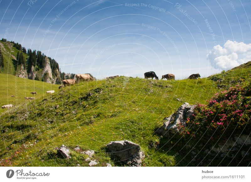 Almweide Hirschberg im Bregenzerwald Himmel Natur Ferien & Urlaub & Reisen Pflanze blau Sommer Blume Landschaft Wolken Tier Berge u. Gebirge Umwelt Blüte Wiese Gras Gesundheit