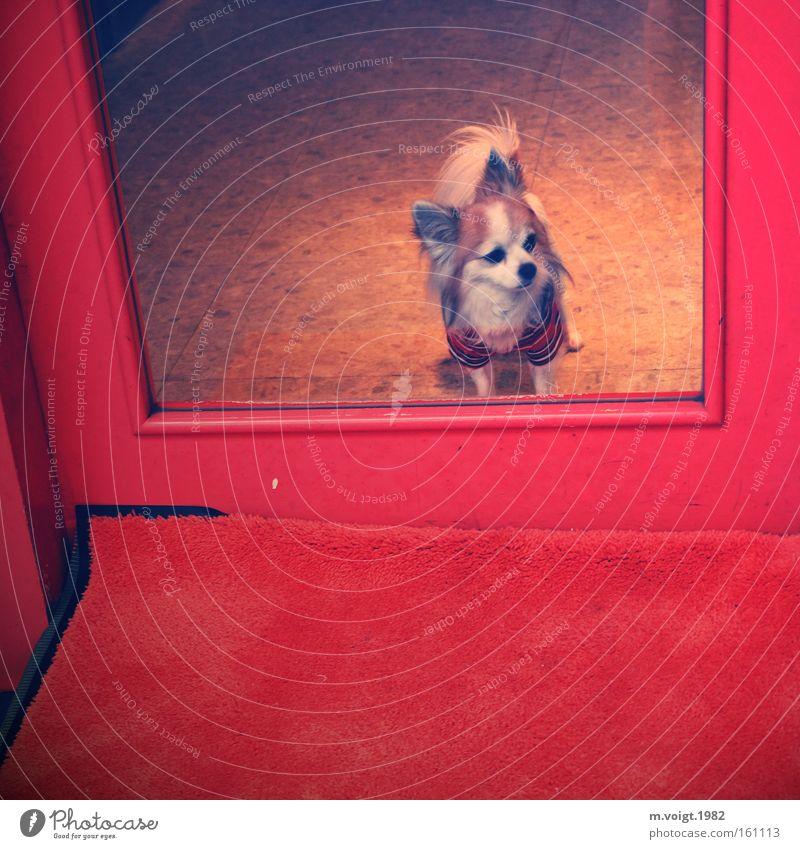 Wachhund rot Einsamkeit Stil Hund warten Glas Tür Bekleidung Eingang Wachsamkeit Säugetier trendy Schickimicki