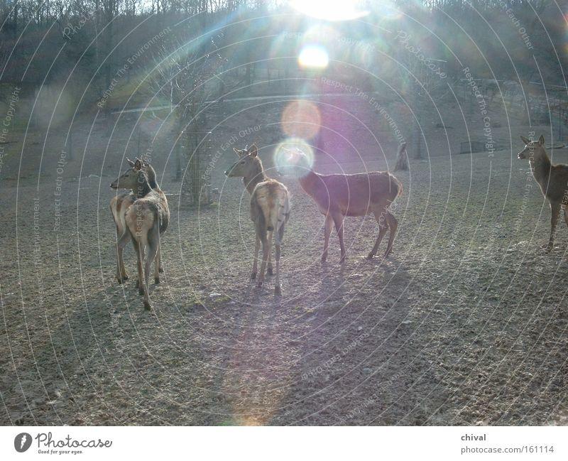 Rotwild Sonne Frühling Nebel Wildtier Wachsamkeit Zoo Strahlung blenden Herde Reh