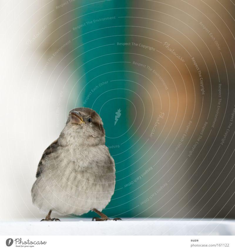 Flausch-Murmel II Tier Wildtier Vogel Spatz Feder Flaum 1 Blick authentisch frech Fröhlichkeit schön klein lustig niedlich braun Glück Lebensfreude