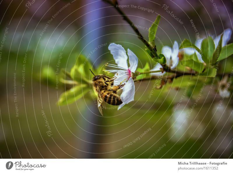 Fleißige Biene Umwelt Natur Pflanze Tier Sonnenlicht Schönes Wetter Baum Blatt Blüte Wildtier Tiergesicht Flügel 1 Blühend Duft fliegen Fressen sitzen Wachstum