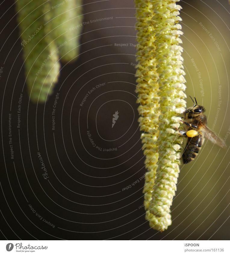 Die, die uns den Honig macht gelb Blüte Frühling Insekt Streifen Biene Tiefenschärfe Pollen bestäuben