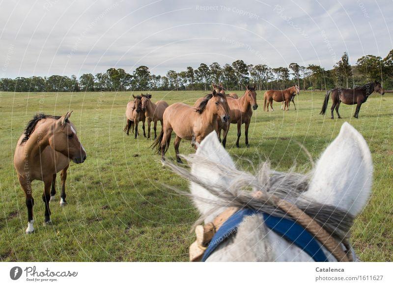 Besuch Reiten Landschaft Pflanze Tier Wolken Gras Eukalyptusbaum Wiese Pferd Tiergruppe beobachten Bewegung Fitness Blick ästhetisch Neugier blau braun grün