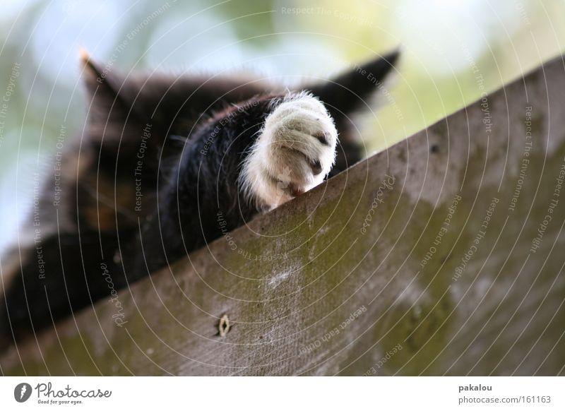 muschi schläft Pfote schlafen Katze Hauskatze Tier Fell Hand Krallen Handschuhe Holz Haustier Säugetier Langeweile mietze