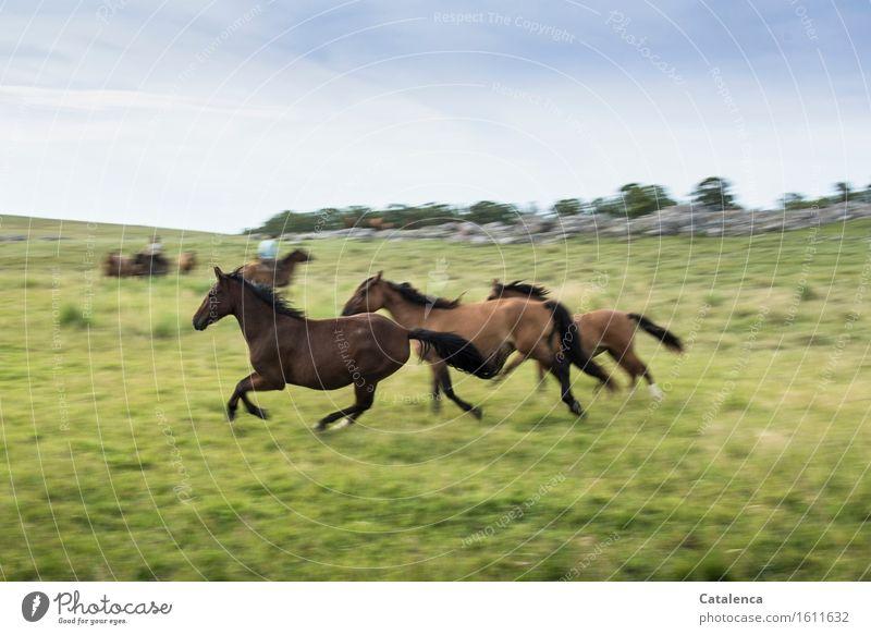 Galoppierende Pferde Fitness Sport-Training Reiter Mensch androgyn 2 Landschaft Pflanze Tier Himmel Gras Wiese Feld Tiergruppe Bewegung rennen sportlich frei