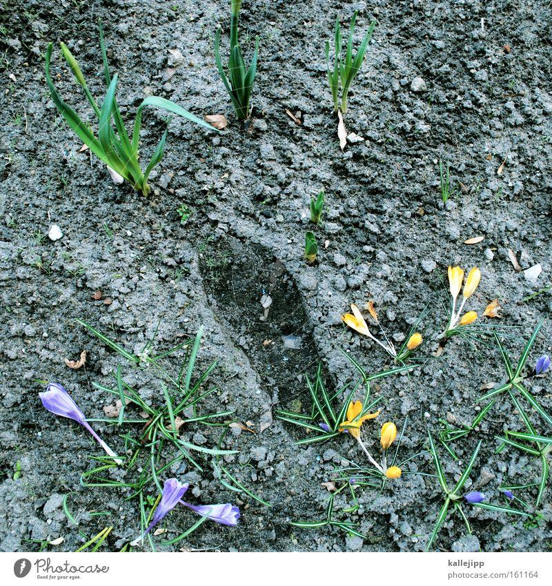 frühlingsbote Blume Pflanze Frühling Park Spuren Fußspur Beet rechts Krokusse Leiter Leitersprosse Beweis