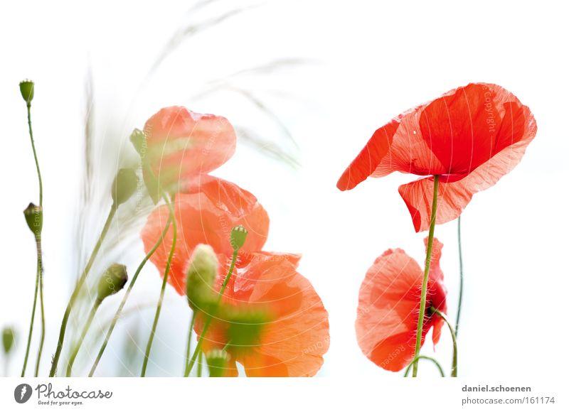 Klatschmohn Himmel weiß Sonne Blume rot Sommer Wiese Blüte Mohn Licht Blütenknospen Klatschmohn