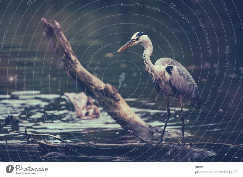 Herr Strese auf'm Sprung elegant Jagd Umwelt Natur Landschaft Tier Wasser Seeufer Teich Wildtier Vogel 1 stehen warten ästhetisch fantastisch Neugier wild grau