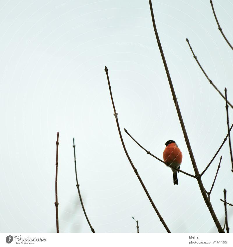 Farbklecks Himmel rot Farbe grau Vogel sitzen Ast leuchten Fleck Zweig Geäst Gimpel