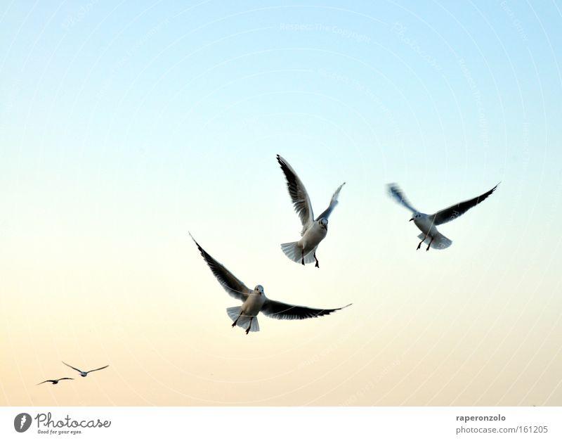 die flatter machen Himmel blau kalt Luft Vogel fliegen Tiergruppe Flügel Möwe Verlauf ausgestreckt Wolkenloser Himmel flattern