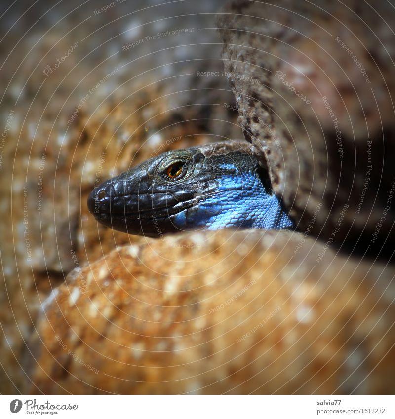 Versteckspiel Umwelt Natur Tier Wärme Wildtier Tiergesicht Schuppen Echte Eidechsen Reptil 1 beobachten genießen Jagd krabbeln exotisch blau braun grau achtsam