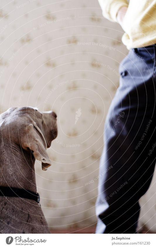 Erwartungshaltung Hund Tier Beine Freundschaft Kommunizieren Konzentration Haustier Wachsamkeit Partnerschaft Säugetier Erwartung Treue achtsam Begleiter Weimaraner Jagdhund