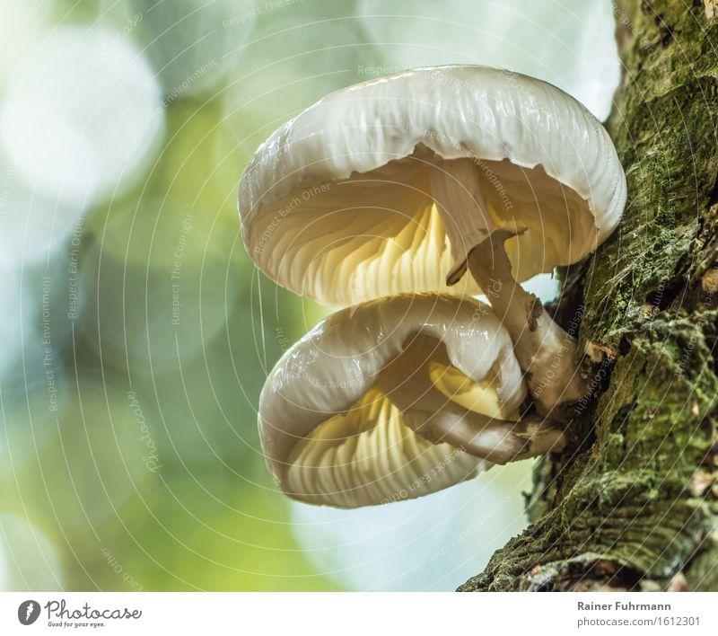 Ein Buchenschleimrübling im natürlichen Bokeh Natur grün Wald Umwelt gelb Herbst außergewöhnlich wandern schleimig