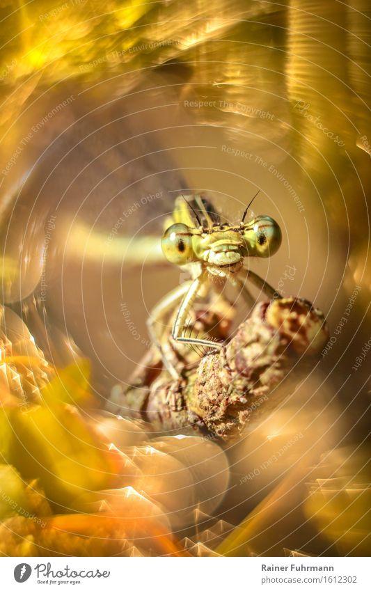 """Ein Porträt einer freundlichen Federlibelle Natur Tier """"Libelle Federlibelle"""" 1 beobachten Blick sitzen Freundlichkeit schön gelb gold Glück Lebensfreude"""