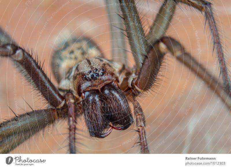 Eine Winkelspinne Tier Spinne 1 warten bedrohlich dunkel gruselig braun Ekel Natur Farbfoto Gedeckte Farben Makroaufnahme Blick Blick in die Kamera