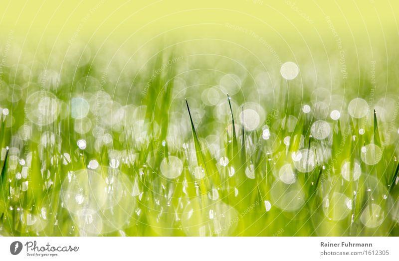 """Ein junges Kornfeld bei Gegenlicht im Morgentau Natur Pflanze Wassertropfen Frühling Schönes Wetter Grünpflanze Nutzpflanze Feld Umwelt """"Bokeh Tautropfen Wiese"""""""