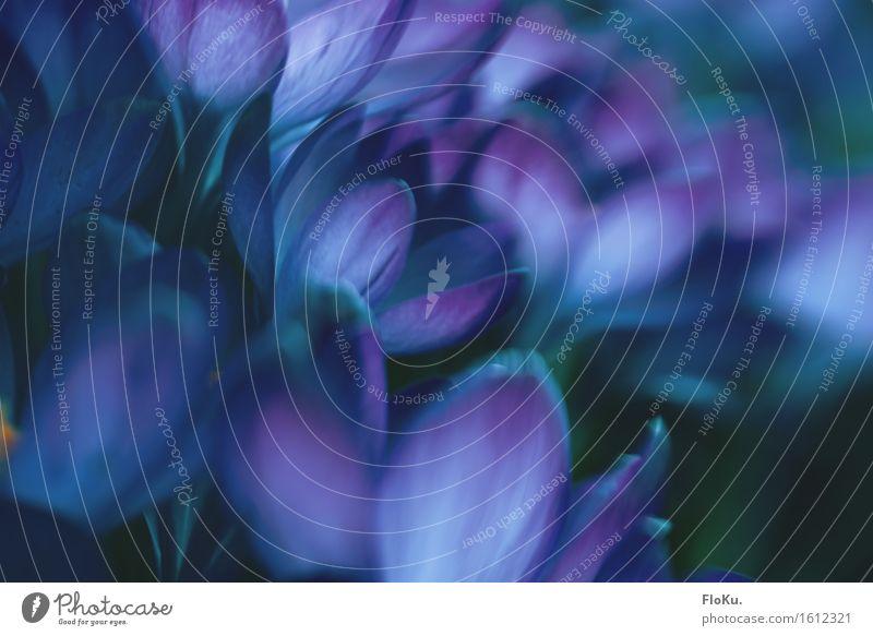 leichte Unschärfe im Krokusfeld Gartenarbeit Gärtner Umwelt Natur Pflanze Frühling Blume Blatt Blüte Park ästhetisch schön wild weich blau violett Stimmung
